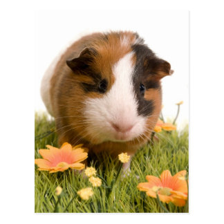 Guinea pigs se tiene lawn postal