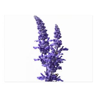harina del sabio azul en la floración en primavera postal