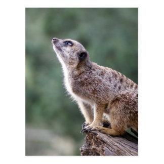 Hay algo hacia fuera allí meerkat postal