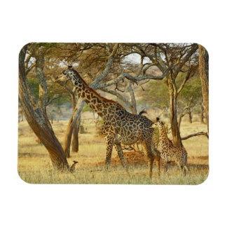 Hembra adulta y jirafa juvenil, Giraffa Imán