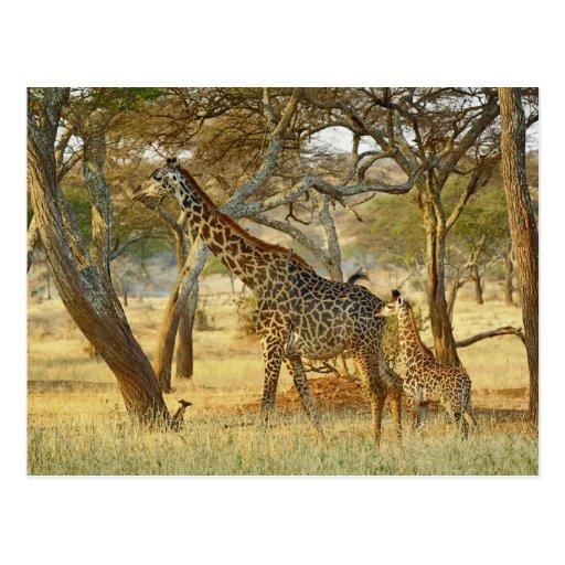 Hembra adulta y jirafa juvenil, Giraffa Postal