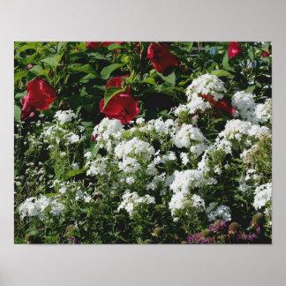 Hibisco rojo y jardín de flores blanco del Phlox Posters