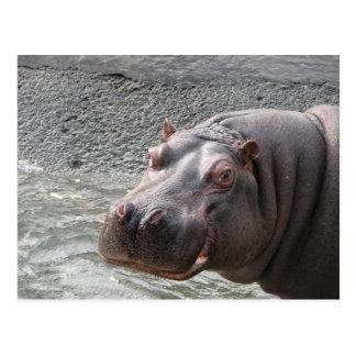 ¡Hipopótamo descarado! Postal