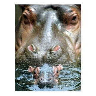 Hippopotamuses y bebé postal