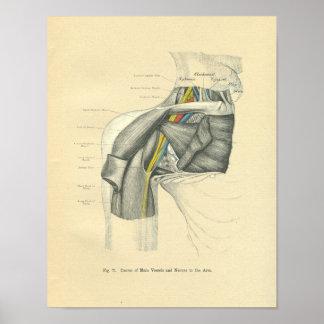 Hombro anterior anatómico de Frohse del vintage Poster