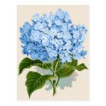 Hydrangea del azul del vintage postales