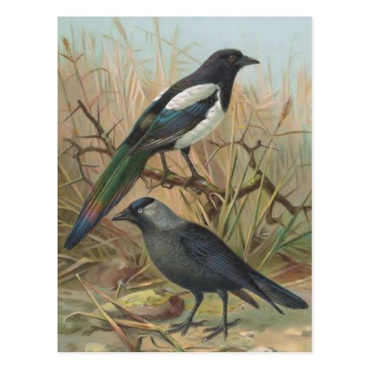 Ilustracion del pájaro del vintage de la urraca y postal