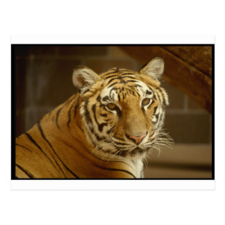 Imagen del tigre postal