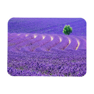 Iman Árbol solitario en el campo de la lavanda, Francia