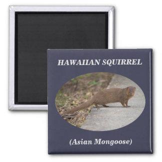 Imán Imán cuadrado hawaiano de la ardilla (mangosta