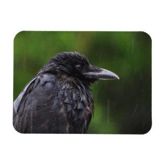 Iman Cuervo o cuervo en la lluvia