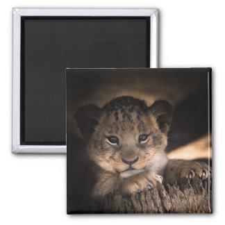 Imán de la foto de la naturaleza de Cub de león