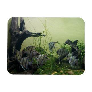 Imán de la foto del Angelfish del Orinoco