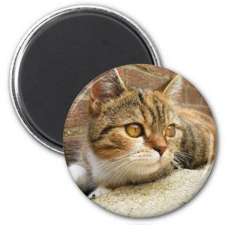Imán del gato de Tabby