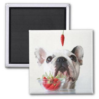 Imán Dogo francés que mira una pimienta roja