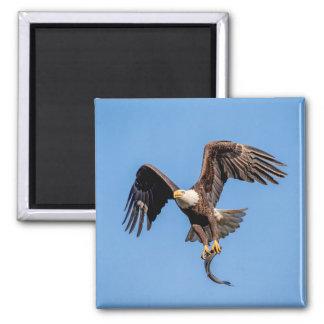 Imán Eagle calvo con un pescado