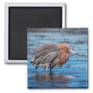Imán Egret rojizo en la playa del norte