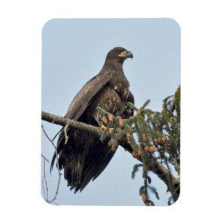 Imán Flexible Percas (no maduras) de Eagle calvo en el top del