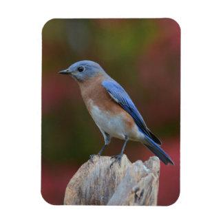Imán hermoso del Bluebird