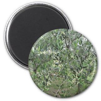 Imán Las ramas de olivo con primeras florecen Toscana,