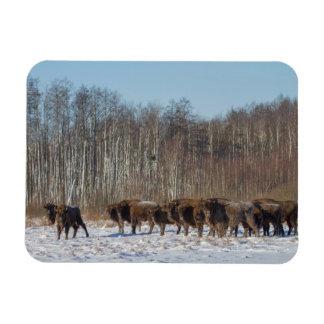 Iman Manada del bisonte
