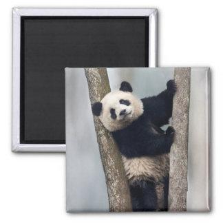 Imán Panda joven que sube un árbol, China