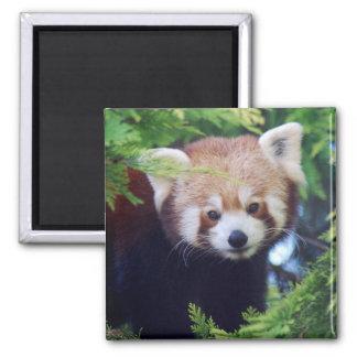 Imán Panda roja