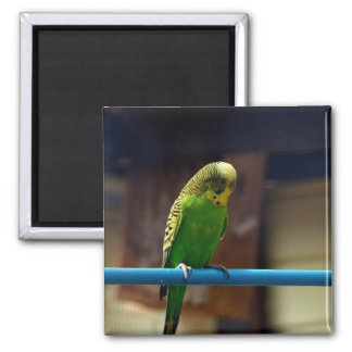 Imán Parakeet