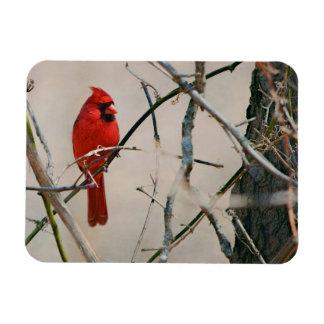 Imán Un pájaro cardinal rojo en una rama en las maderas