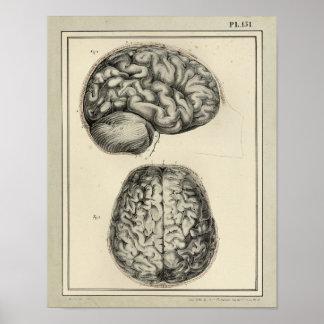 Impresión 1831 de la anatomía del cerebro del