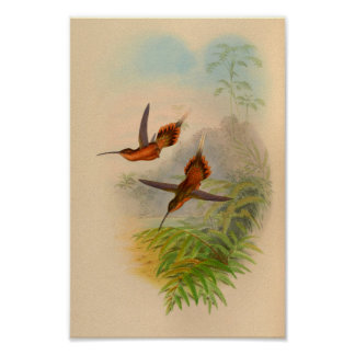 Impresión 1861 del colibrí del ermitaño del