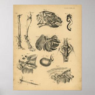 Impresión 1908 del vintage de la anatomía de la