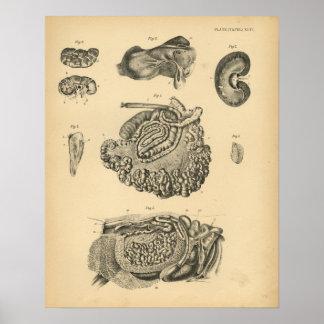 Impresión 1908 del vintage de la anatomía de las