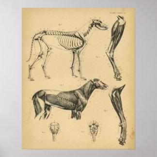 Impresión 1908 del vintage de la anatomía de los