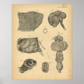 Impresión 1908 del vintage de la anatomía del