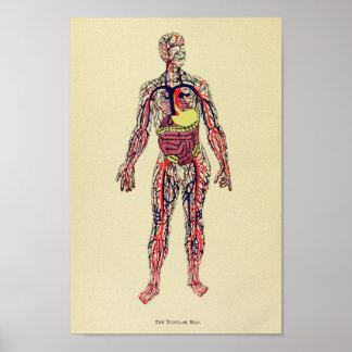 Impresión 1920 del arte de la anatomía del órgano