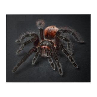 Impresión Acrílica Araña melenuda del tarantula