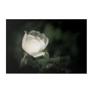 Impresión Acrílica Color de rosa salvaje blanco en un fondo oscuro