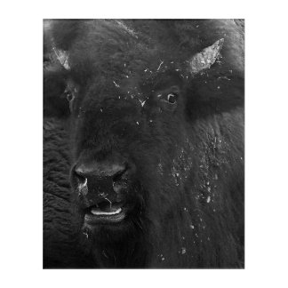 Impresión Acrílica El bisonte americano de la sonrisa