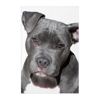 Impresión Acrílica Pitbull Terrier americano