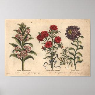 Impresión botánica Balsamina del arte de la flor