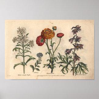 Impresión botánica Candytuft del arte de la flor