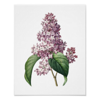 Impresión botánica de la original de la LILA por