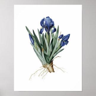 Impresión botánica de los IRIS originales por