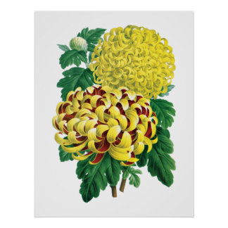 Impresión botánica del crisantemo