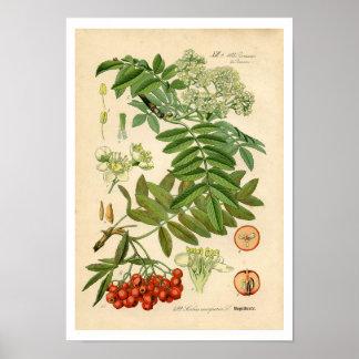 Impresión botánica del decorador - Apple, ceniza