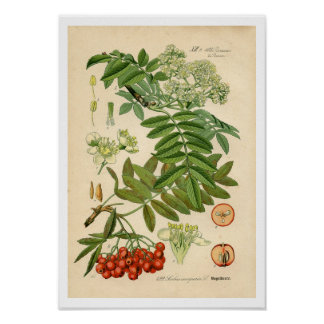 Impresión botánica del decorador - Apple, ceniza Póster