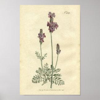 Impresión botánica - lavanda póster
