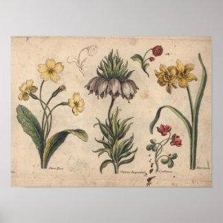 Impresión botánica PrimeRose del arte de la flor