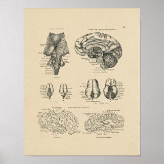 Impresión de la anatomía 1880 del cerebro humano póster